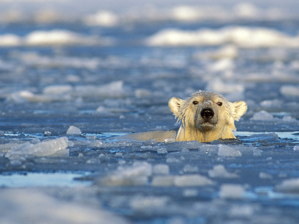 6. You Can Go swimming with a Polar Bear